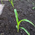 Cukrová kukuřice po 3 týdnech