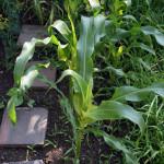 Kukuřice po osmi týdnech