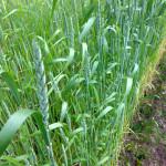Klasy na naší pšenici